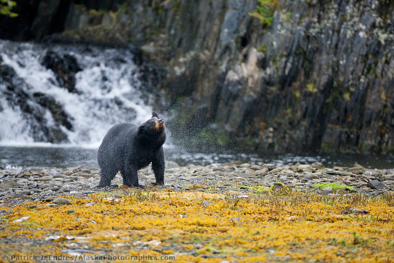 Black bear along a pink salmon, western Prince William Sound, Chugach National Forest, Kenai Peninsula, southcentral, Alaska.