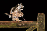 Tawny Owl workshops