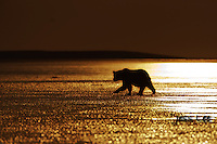 A silhoutte sunset photo of a coastal brown bear walking along the beach. Grizzly Bear or brown bear alaska Alaska Brown bears also known as Costal Grizzlies or grizzly bears
