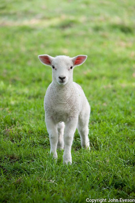 Texel cross lamb, Chipping, Lancashire.