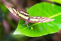 Butteryfly in Amazon Rainforest, Coca, Ecuador, South America