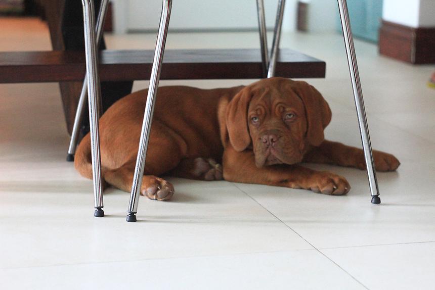 Cute French mastiff / dog de bordeaux puppy with  green eyes