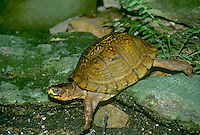 Turtle, Terrapene carolina, in a hurry, box turtle moving quickly to get away from predator, Missouri USA