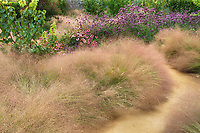 Muhlenbergia reverchonii, Ruby muhly grass, by earthen path in California garden with Verbena; Sunset gardens, Cornerstone, Sonoma