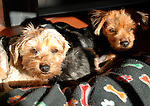 Emmi and Roxie.Rescue Yorkies with Mange