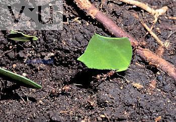 Tropical Leaf-cutter Ants (Atta sp.) Costa Rica