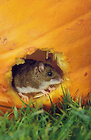 DEER MOUSE in pumpkin seeking seeds..Coastal British Columbia, Canada..(Peromyscus maniculatus).