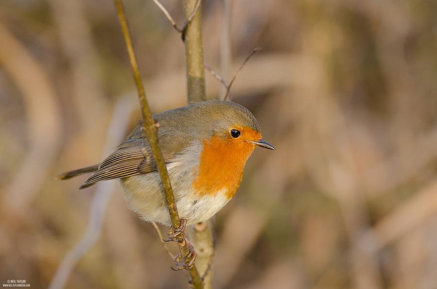 Robin {Erithacus rubecula} at Mote Park, Maidstone, Kent 2