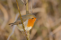 Robin {Erithacus rubecula} at Mote Park, Maidstone, Kent 2