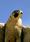 Idaho: Birds of Prey, World Center for Birds of Prey, Peregrine falcon, Photo: idprey101 .Photo copyright Lee Foster, www.fostertravel.com , 510/549-2202, lee@fostertravel.com