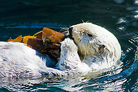 California Sea Otter (Enhydra lutris nereis) Eating Kelp, Point Defiance Aquarium, WA (c) (do)