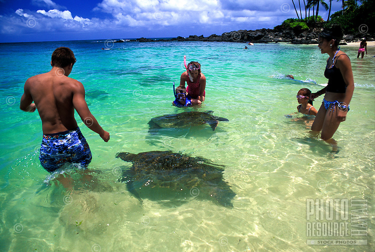 Green sea turtles come face to face with visitors to Laniakea beach on Oahu's north shore. Feeding the turltes is prohibited by law.