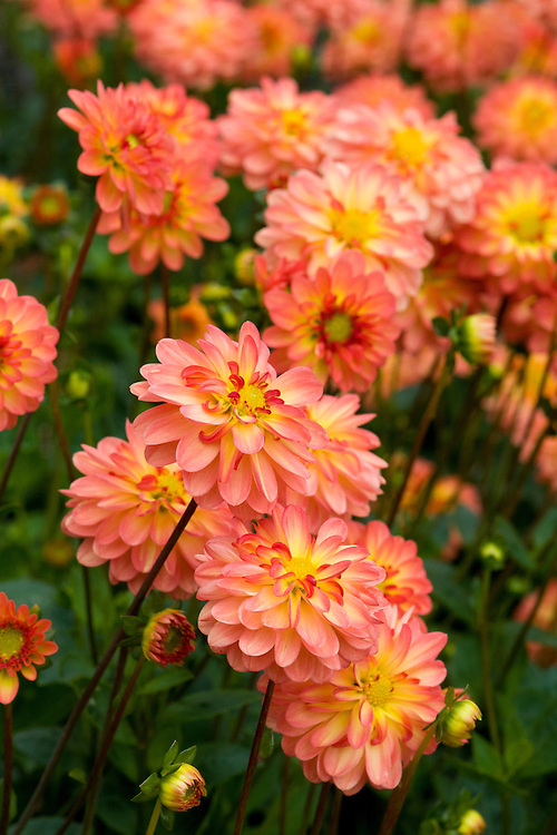 Dahlia 'My-nute Blend', mid August. Awarded RHS AGM in 2010.
