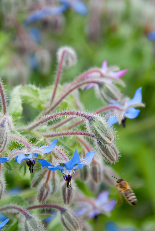 Bee insects on blue flowers of herb borage Borago officinalis