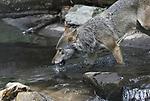 Foto: VidiPhoto<br /> <br /> RHENEN &ndash; Als speelse honden, dollen vijf jonge wolven woensdag met elkaar en individueel in de vijver en waterval van Ouwehands Dierenpark in Rhenen. De nieuw roedel -vijf broers van twee en &eacute;&eacute;n jaar oud- is afkomstig uit een dierentuin in Schotland en &lsquo;vervangt&rsquo; de oude wolven in het Berenbos. De vorige roedel is inmiddels overleden. De nieuwelingen hebben de afgelopen weken in afzonderlijk &lsquo;teams&rsquo; aan hun nieuwe omgeving kunnen wennen. Woensdag werden ze als groep &lsquo;voor de wolven gegooid&rsquo;. En dat verliep boven verwachting goed. De jonge roedel is enorm actief en zoekt met dit weer regelmatig het water op om te spelen en af te koelen. Honden en wolven raken minder makkelijk hun warmte dan mensen. Daarvoor gebruiken ze hun tong (door te hijgen) en hun poten. Binnenkort volgt ook de introductie met de beren. Wolven en beren delen in het Berenbos van Ouwehands Dierenpark hetzelfde buitenverblijf.