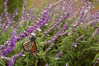 Monarch (Danaus plexippus), Hill Country, Texas, USA