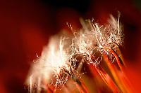 Protea.