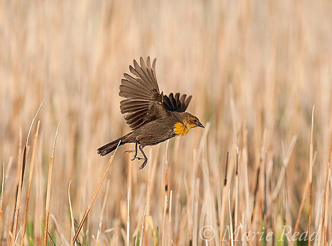 Yellow-headed Blackbird (Xanthocephalus xanthocephalus) female taking flight in cattail marsh, Mono Lake Basin, California, USA