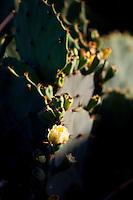 Rio das Ostras_RJ, Brasil...Detalhe da planta cacto no Rio das Ostras, Rio de Janeiro...The cactus in the Rio das Ostras, Rio de Janeiro...Foto: LEO DRUMOND / NITRO