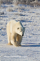 01874-12320 Polar bear (Ursus maritimus) walking in winter, Churchill Wildlife Management Area, Churchill, MB Canada