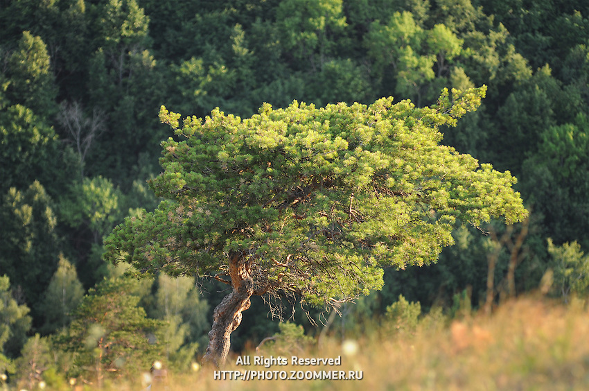 "Tree over the steep Strelnaya mountain in Russian National Park ""Samara Luka"""