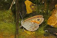 Braunauge, Lasiommata maera, Large Wall Brown, Némusien, Ariane