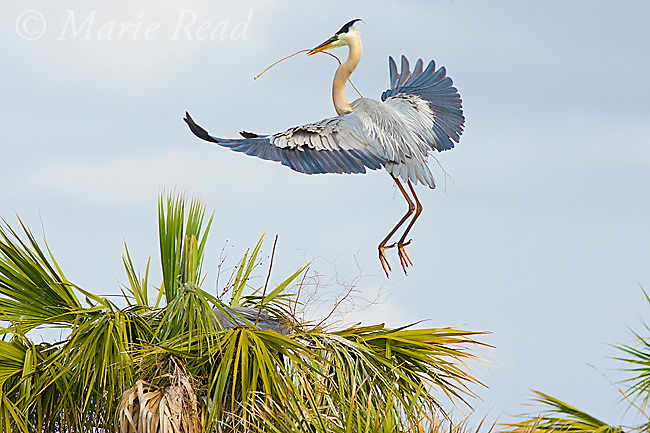 Great Blue Heron (Ardea herodias) carrying stick as nest material to nest site in palm tree, Florida, USA