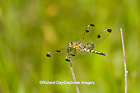 06578-00214 Calico Pennant (Celithemis elisa) female in fen, Iron Co. MO