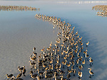 WITH VIDEO<br /> <br /> A colony of young flamingos circle a cormorant invading a salt lake.  Lacking their vibrant pink feathers, the young birds kept their distance as they remained afraid of the new visitor on the salt lake in Konya, Turkey.<br /> <br /> Adult flamingos stayed close by, protecting their offspring which feed on algae and bacteria from the 80km lake.  SEE OUR COPY FOR DETAILS.<br /> <br /> Please byline: Seyit Konyali/Solent News<br /> <br /> © Seyit Konyali/Solent News & Photo Agency<br /> UK +44 (0) 2380 458800