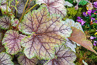 Ornamental foliage of Heuchera Birkin with green edge