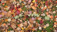 Fallen leaves in autumn, Washington