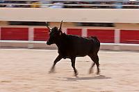 France/13/Bouches du Rhone/Camargue/Parc Naturel Régionnal de Camargue/Saintes Maries de la Mer: Aux Arènes courses de taureaux , lors du Pèlerinage des Gitans