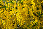 Laburnum tree, Golden Chain, Laburnum anagyroides, in flower with yellow blossom, Wiltshire, England, UK close up