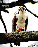 Osprey Stares at Me As I Interrupt His Fish Dinner at Bayard Cutting Arboretum
