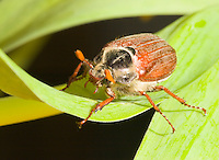 Germany, DEU, Datteln, 2005-Apr-19: A may-bug (melolontha melolontha) on green leaves.