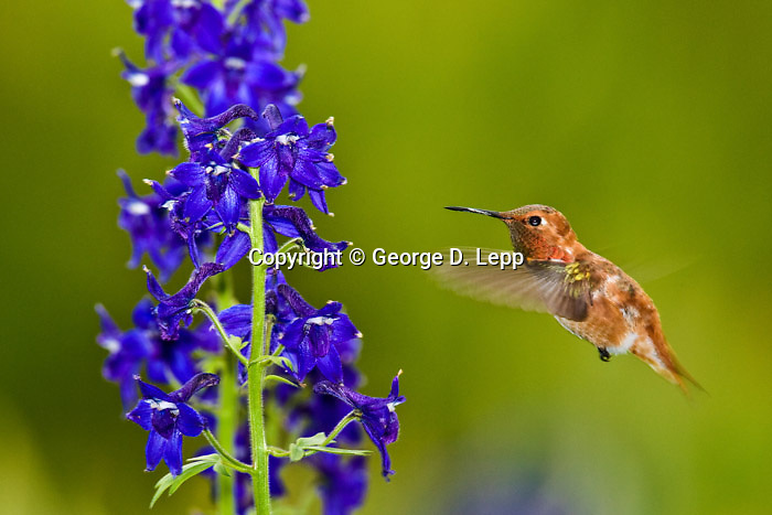 Rufous Hummingbird (Corbis 4-2011)