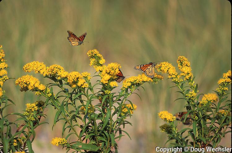 Monarch<br /> Danaus plexippus<br /> nectaring on seaside goldenrod Soidago sempervirens during southward migration<br /> NJ, Cape May County