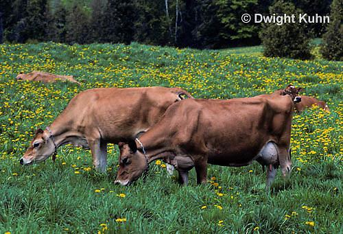 SH02-013z  Cow - grazing, Jersey cows
