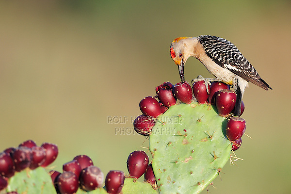 Golden-fronted Woodpecker (Melanerpes aurifrons), male feeding on tuna of Texas Prickly Pear Cactus (Opuntia lindheimeri), Dinero, Lake Corpus Christi, South Texas, USA