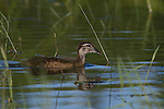 Immature wood duck