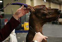 Alex -Ch Rosettes Earl Grey Tea, an Irish Setter, receives his last minute grooming at the hands of his handler Lindsey Kuhn, 18, of Perrysburg, Ohio, before competing in the Junior Showmanship Finals in the 130th Westminster Kennel Club Dog Show at Madison Square Garden, New York city on Tuesday, February 14, 2006.