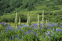 Lupines and Monument Plants