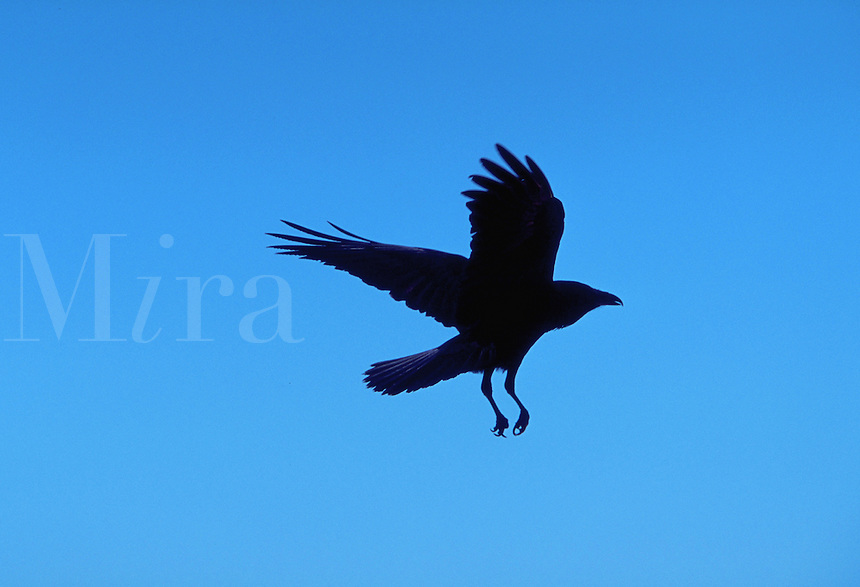 Raven in flight, Arizona