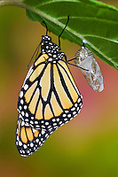 MONARCH BUTTERFLY (Danaus plexippus) adult recently emerged from cocoon hangs onto empty chrysalis while pumping meconium from its abdomen into its newly forming wings.  Summer, Nova Scotia, Canada. Series: 1 of 8 images.