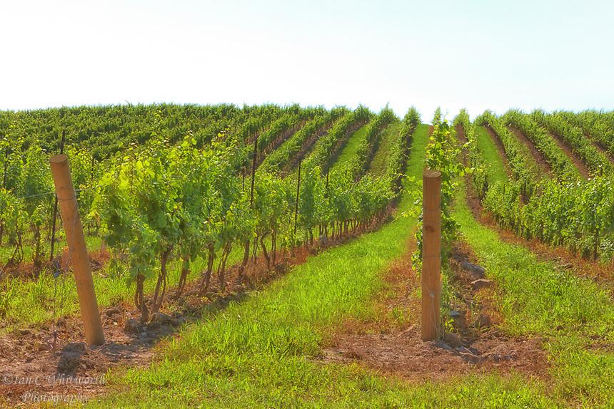 A view of a Niagara Peninsula vineyard.