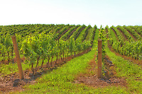 A view of a Niagara Peninsula vineyard.