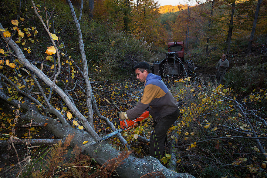 Forest worker with chainsaw cutting off branches from Common beech (Fagus sylvatica) tree. Southern Carpathians, Mehadia, Caras Severin, Romania.