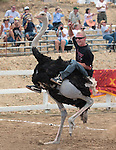 Daniel Jacobsen wins an ostrich race during media day at the International Camel Races in Virginia City, Nev., on Friday afternoon, Sept. 7, 2012. The 53rd annual event continues Saturday at 1 p.m. and at noon on Sunday..Photo by Cathleen Allison