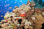 The rich shallow reefs of Yap, Coral Grouper, Cephalopholis miniata, Soft Coral, soft coral, Heteroxenia sp., Magnificent Anemone, Heteractis magnifica, Pink Anemonefish, Amphiprion perideraion, Anthias, Pseudanthias sp.,Yap, Micronesia, Pacific Ocean
