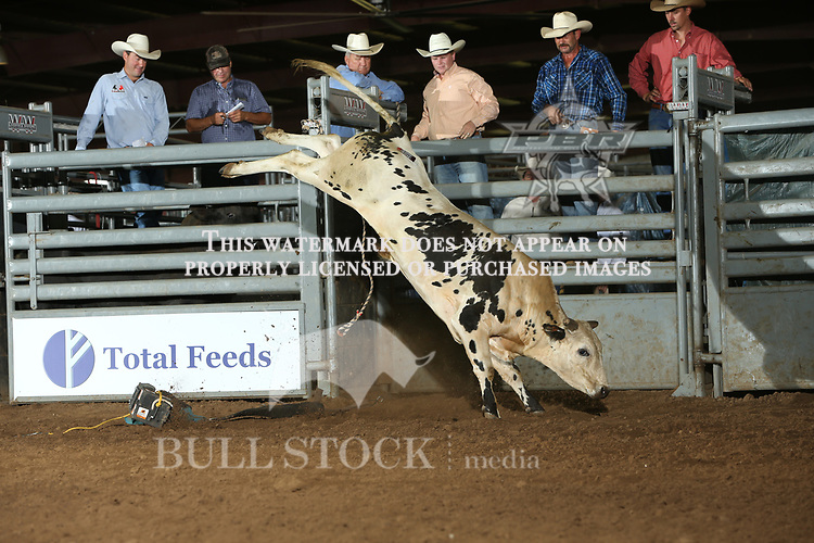 Amy's Boy, 444 Bucking Bulls/BS Cattle Co, during the Claremore ABBI futurity. Photo by Andy Watson